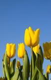 美丽的黄色郁金香花在庭院里。 图库摄影