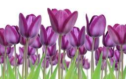 美丽的紫色郁金香花新近地流行了在春天反对白色背景 免版税库存照片