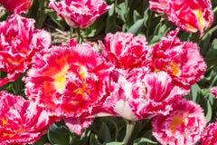 美丽的紫色郁金香顶视图  免版税图库摄影