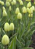 美丽的黄色郁金香 免版税库存照片