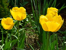美丽的黄色郁金香 免版税图库摄影
