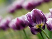 美丽的紫色郁金香 库存照片