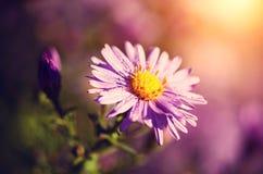 美丽的紫色野花在一个满地露水的早晨 库存图片