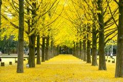 美丽的黄色银杏树树 免版税库存照片