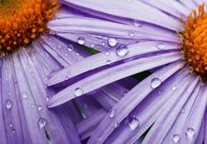 美丽的紫色雏菊花 免版税库存图片