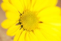 美丽的黄色雏菊 免版税图库摄影