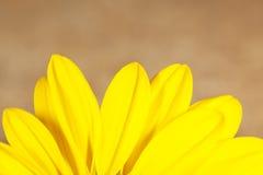 美丽的黄色雏菊 图库摄影