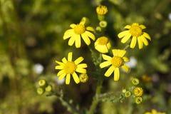 美丽的黄色领域花 库存照片