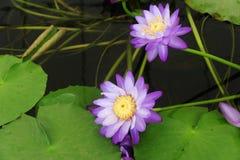 美丽的紫色颜色莲花精神意思 免版税库存图片