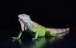 美丽的绿色鬣鳞蜥 库存图片