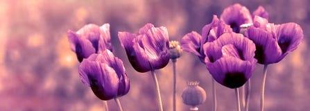 美丽的紫色鸦片花在草甸 免版税图库摄影