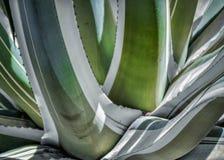 美丽的绿色龙舌兰厂 免版税库存图片