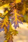 美丽的黄色,橙色和棕色秋天槭树离开与绿色在中间特写镜头 免版税库存图片