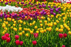 美丽的黄色,红色和紫色郁金香领域特写镜头 免版税图库摄影