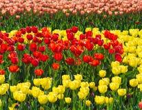 美丽的黄色,红色和紫色郁金香领域特写镜头 免版税库存图片