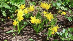 美丽的黄色黄水仙在庭院里 影视素材