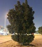 美丽的绿色结构树 免版税库存照片