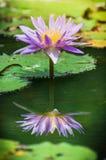 美丽的紫色水百合或莲花与反射 免版税库存图片