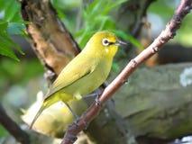 美丽的绿色/黄色印地安白色眼睛鸟 库存照片