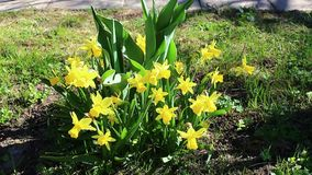 美丽的黄色黄水仙花在庭院里 股票录像