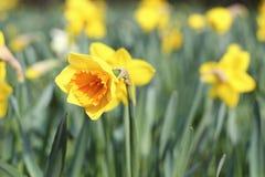 美丽的黄色水仙 免版税库存照片