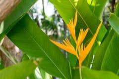 美丽的黄色Heliconia花树在热带植物园里 免版税图库摄影