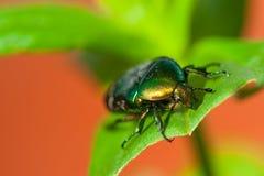 美丽的绿色smaragd甲虫昆虫 免版税库存照片