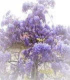 美丽的紫藤花在庭院里 图库摄影