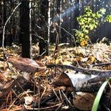 美丽的年轻蘑菇在森林沼地 库存图片
