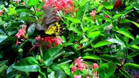 美丽的蝴蝶在庭院庭院曼谷里 股票视频
