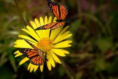 美丽的蝴蝶坐一朵黄色花 库存照片