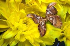 美丽的蝴蝶坐一朵黄色花 图库摄影