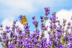 美丽的蝴蝶坐花 库存图片