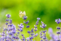 美丽的蝴蝶坐花 库存照片