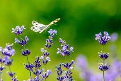 美丽的蝴蝶坐花 免版税库存图片
