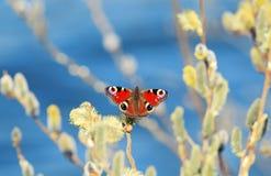 美丽的蝴蝶孔雀在春天收集花蜜与 库存图片
