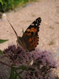 美丽的蝴蝶宏观照片在桃红色花的在被弄脏的风景背景 免版税库存图片