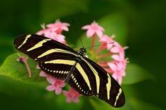 美丽的蝴蝶斑马Longwing, Heliconius charitonius 蝴蝶在自然栖所 从哥斯达黎加的好的昆虫 蝴蝶 免版税库存图片