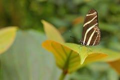 美丽的蝴蝶斑马Longwing, Heliconius charitonius 蝴蝶在自然栖所 从哥斯达黎加的好的昆虫 蝴蝶 免版税库存照片