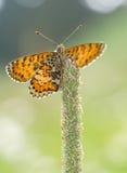美丽的蝴蝶桔子 免版税库存图片