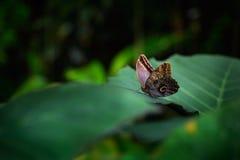 美丽的蝴蝶蓝色Morpho, Morpho peleides,与黑暗的森林,绿色植被,哥斯达黎加 蝴蝶坐绿色l 免版税库存照片
