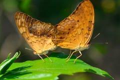 美丽的蝴蝶-联接,在早晨附近的Phalanta phalantha 免版税库存照片