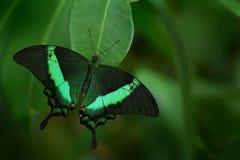美丽的蝴蝶 绿色swallowtail蝴蝶, Papilio海螯虾 昆虫在自然栖所 坐以绿色的蝴蝶 免版税图库摄影