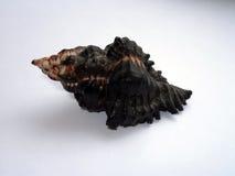 美丽的黑褐色贝壳 免版税库存照片