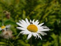 美丽的戴西一个美好的雏菊花宏指令开花和访客的特写镜头 库存图片