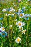 美丽的戴西和瓢虫在绿色夏天草甸 库存照片