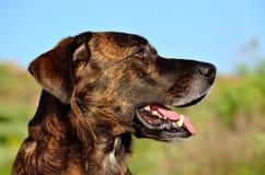 美丽的黄雀色狗的面孔 免版税图库摄影