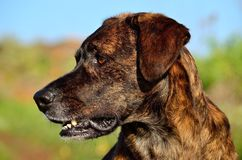 美丽的黄雀色狗的面孔 免版税库存照片