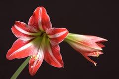 美丽的amarilis 免版税库存照片