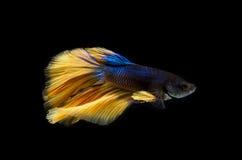美丽的Betta鱼、暹罗战斗的鱼或者Betta splendens 库存照片